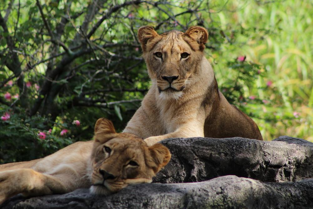 Lioness in Busch Gardens