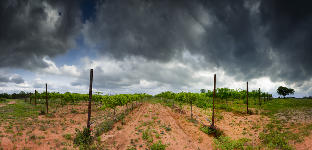 Vineyard in Texas