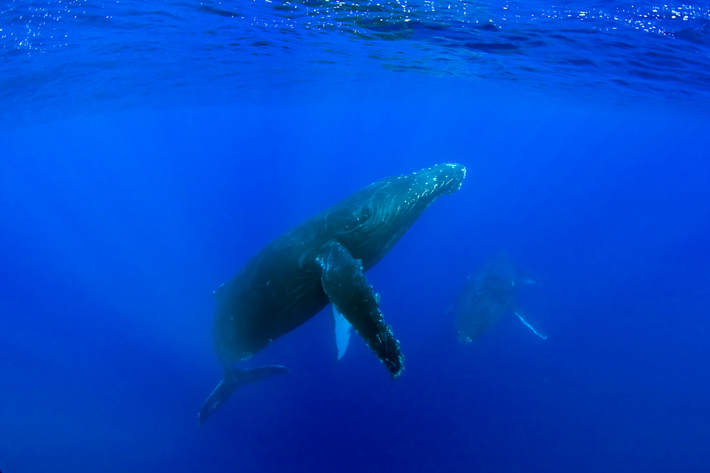 Whale in Hawaii