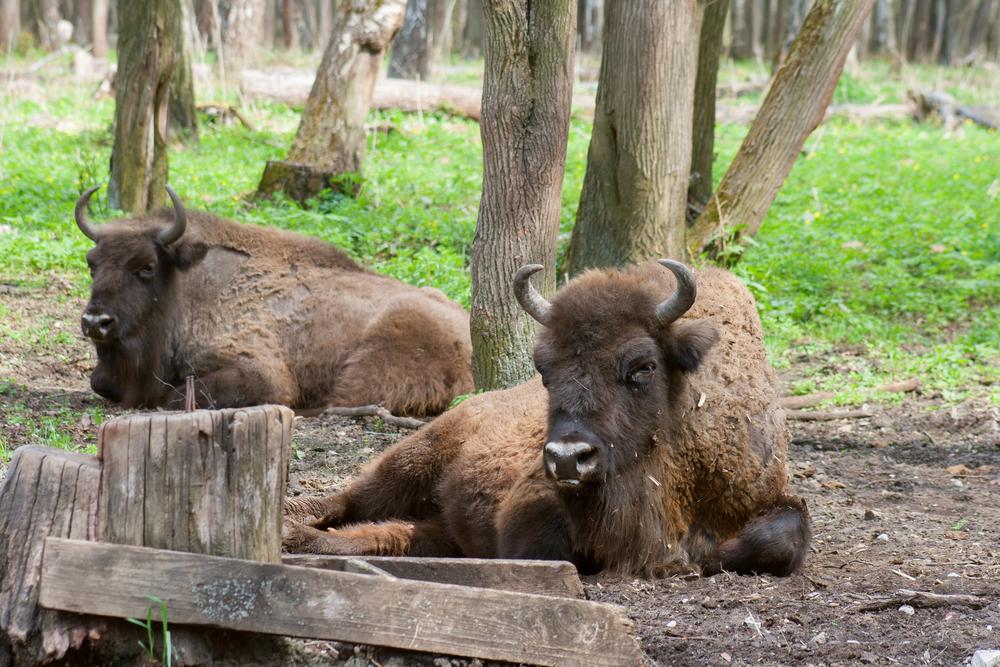 Bison at Prioksko Terrasny Reserve